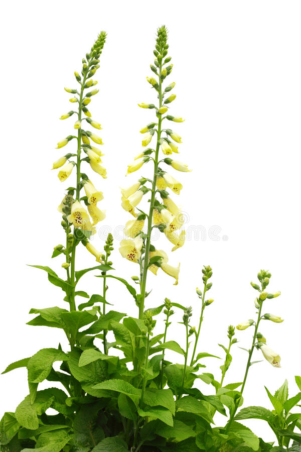 Free Foxgloves Royalty Free Stock Images - 9931409