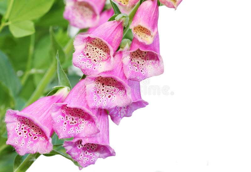 Foxgloves cor-de-rosa foto de stock royalty free
