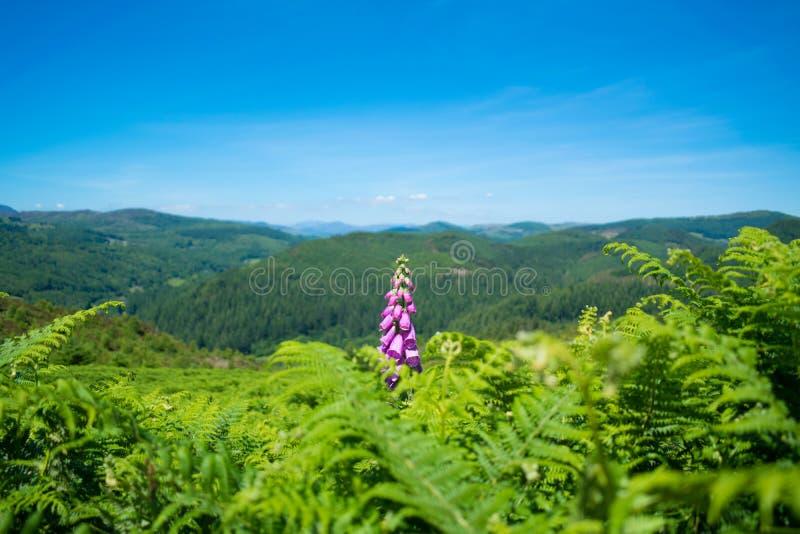 Foxgloves and Ferns - Precipice Walk royalty free stock image