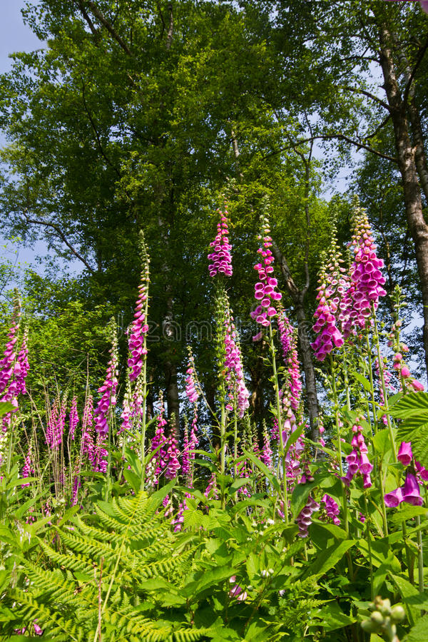 Foxgloves stock photo