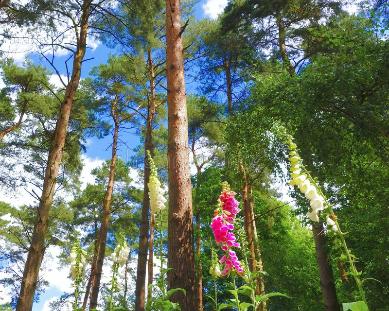 Foxgloves in the forest. royalty free stock images