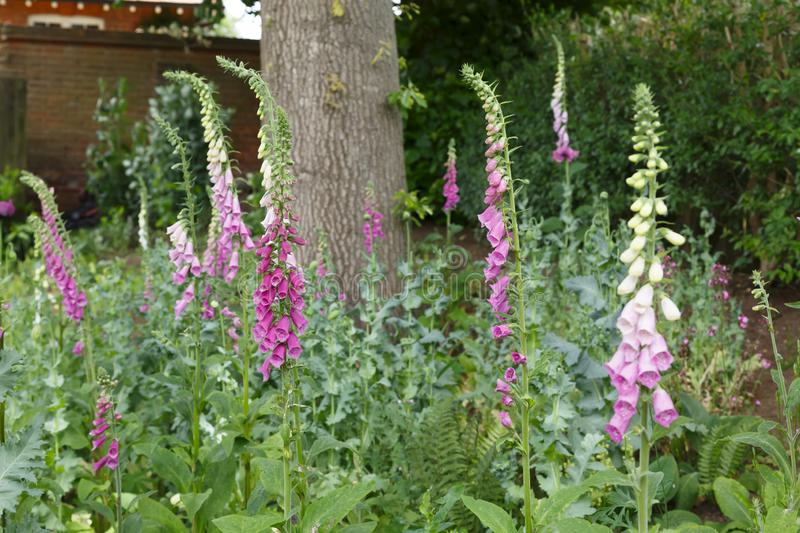Foxgloves in a garden stock photo
