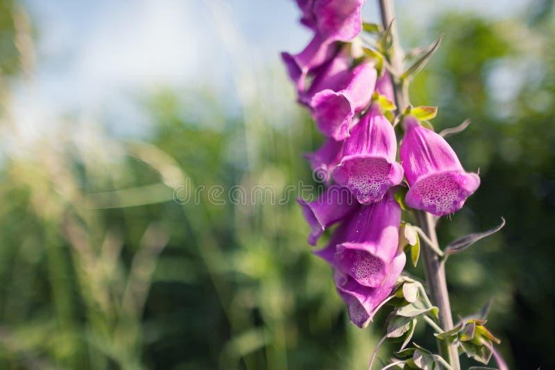 Foxgloves, pink wild flowers (Digitalis Purpurea) royalty free stock photos