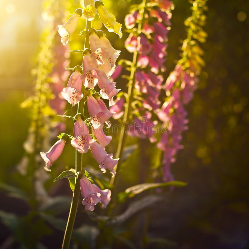 Foxgloves stock photo