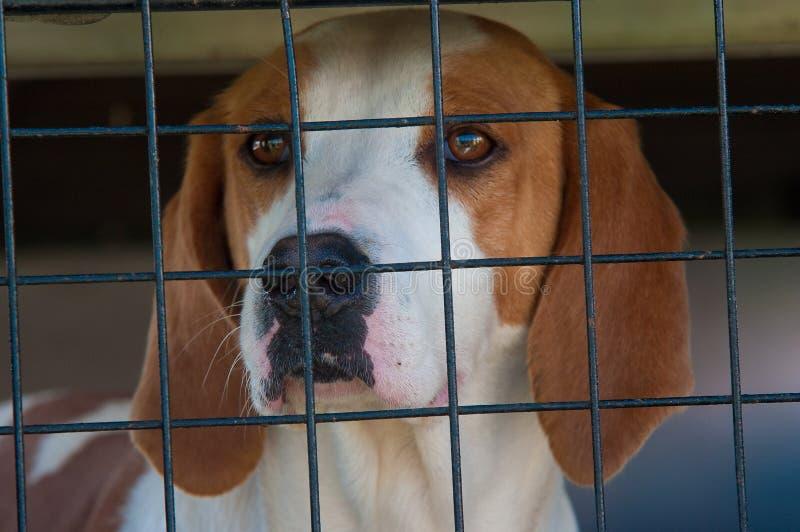 Foxhound in einem Rahmen stockfoto
