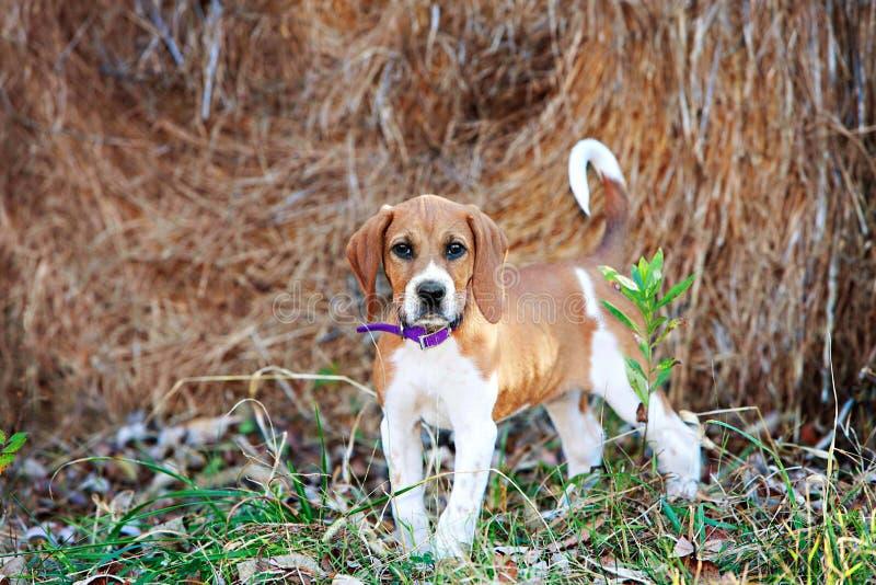 Foxhound szczeniak zdjęcie royalty free