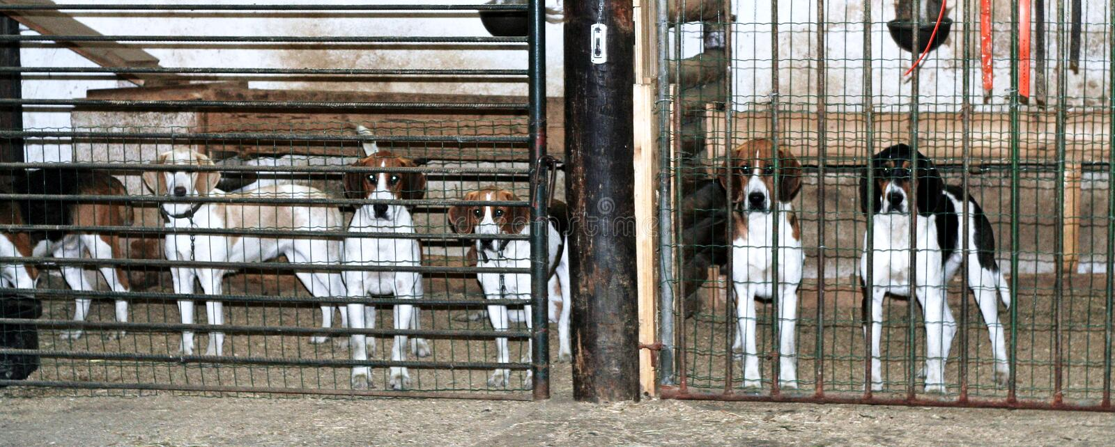 Foxhounds in cages. Group of foxhounds in cages, used for drag hunting (imitation fox hunt stock photography