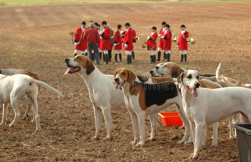 Foxhounds. Completion of royalty free stock photos