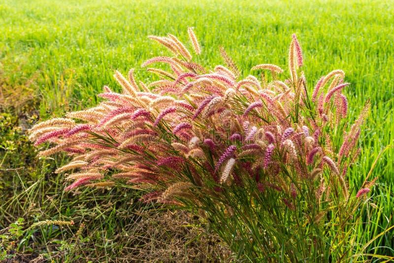 Foxtail geniculata royaltyfri fotografi