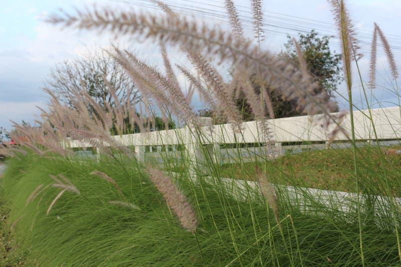 Foxtailgräs bredvid staketet royaltyfri fotografi