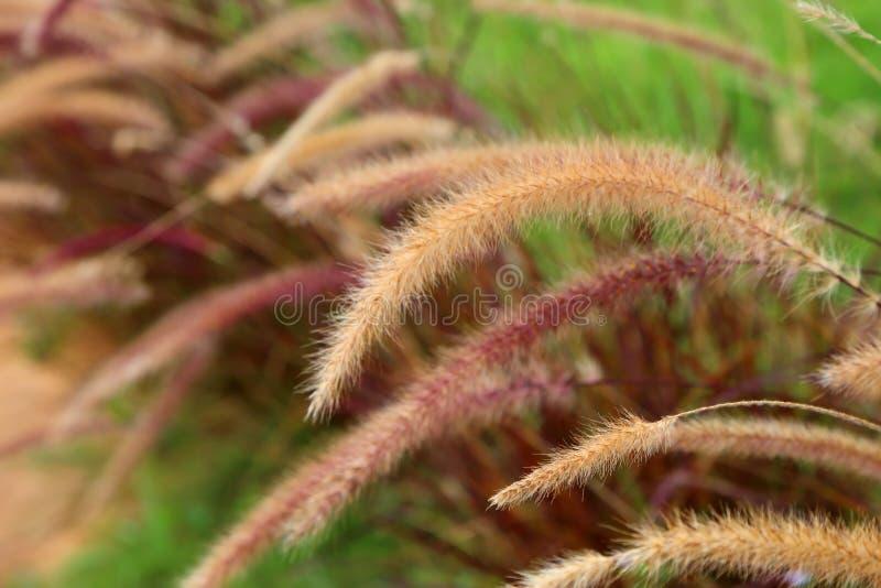 Foxtailogräsgräs blommar, suddig bakgrund för naturen royaltyfri fotografi