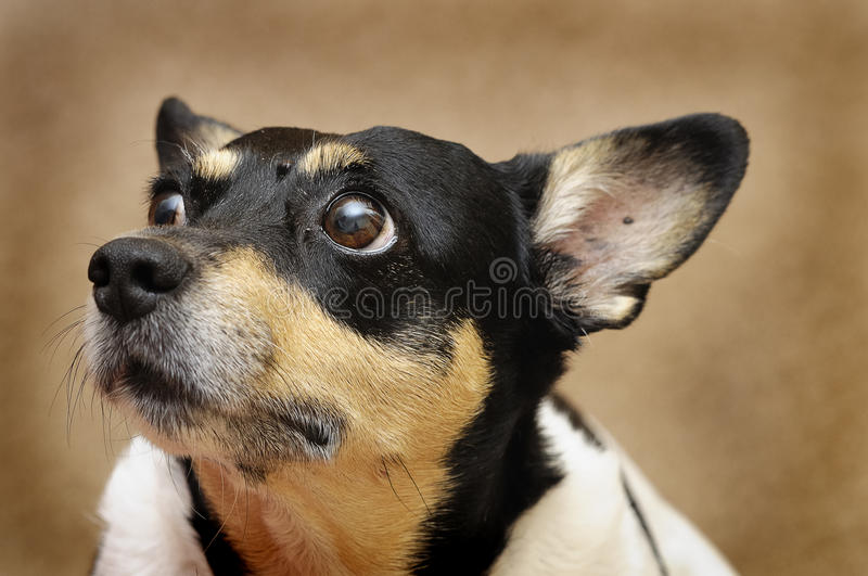 Foxterrier royalty free stock photo