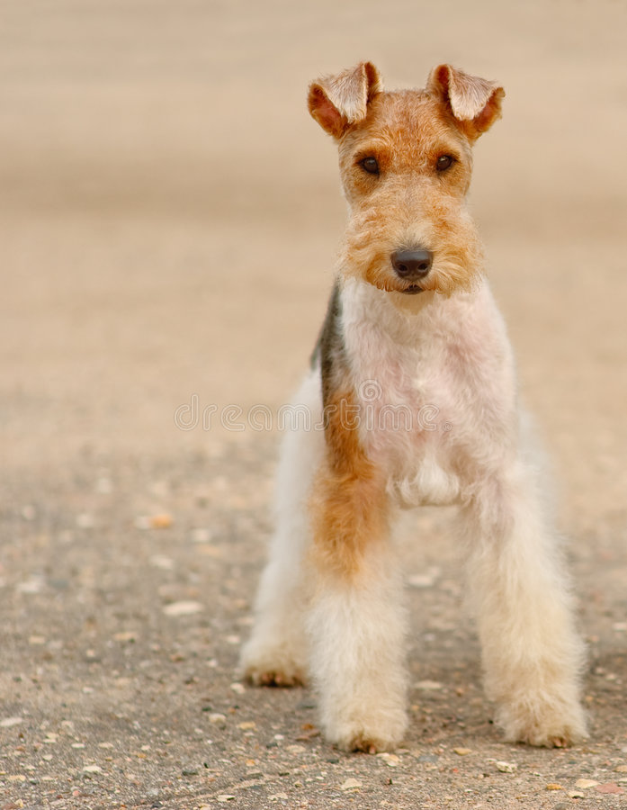 foxterrier obrazy royalty free
