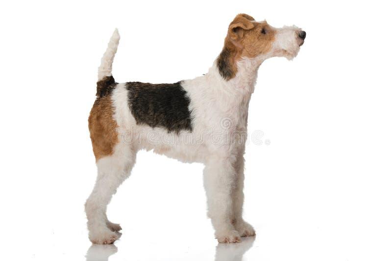 Foxterrier hund på vit bakgrund royaltyfri fotografi