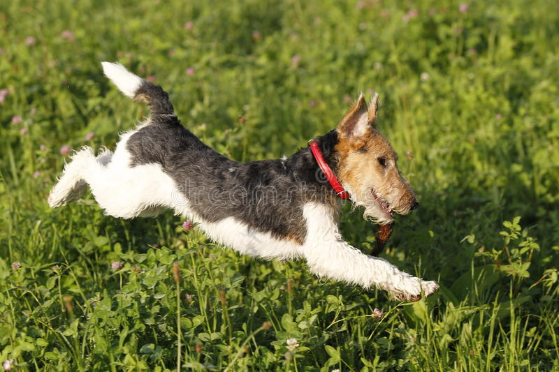 Foxterrier running in the meadow royalty free stock photography