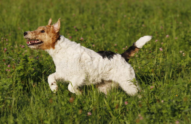 Foxterrier running in the meadow stock image
