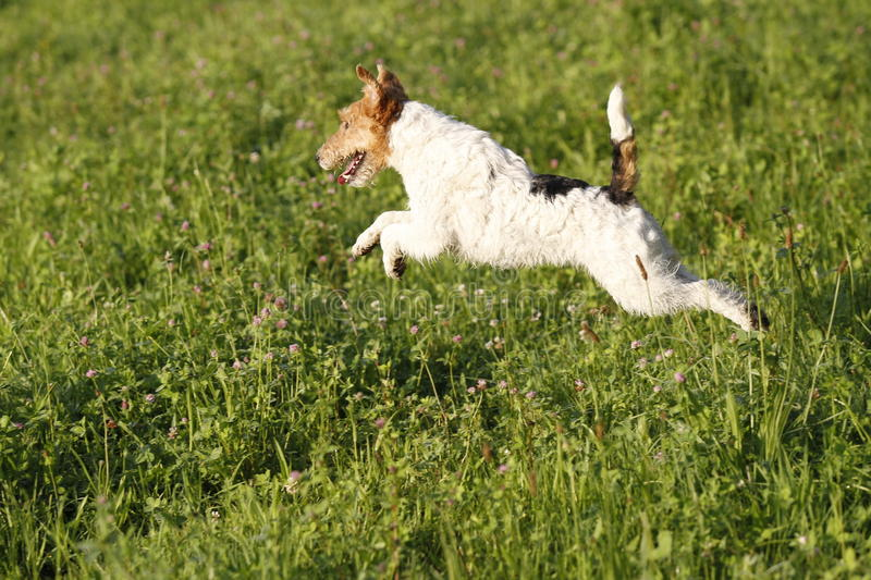 Foxterrier running in the meadow stock photo