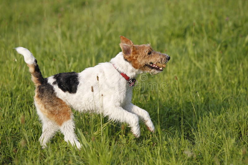 Foxterrier running in the meadow. In summer royalty free stock photography