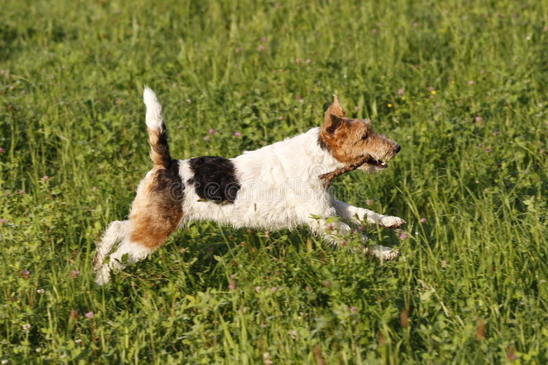 Foxterrier running in the meadow stock photos