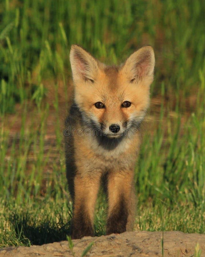 Foxy одно стоковые изображения rf