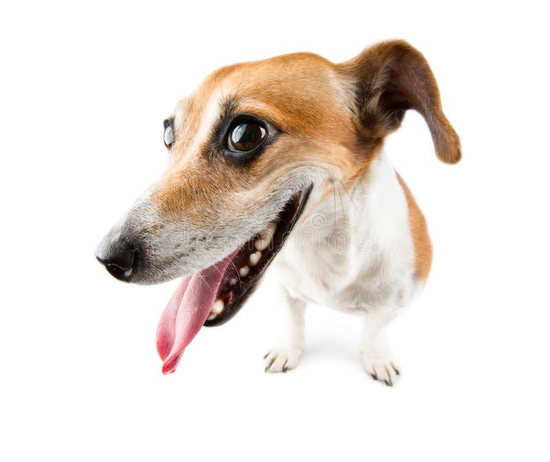 Foxy happy dog muzzle stock image