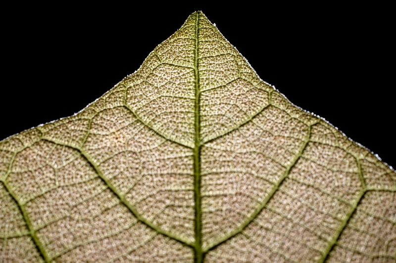 Foyer étroit des extrémités foliaires de jeune teck images stock