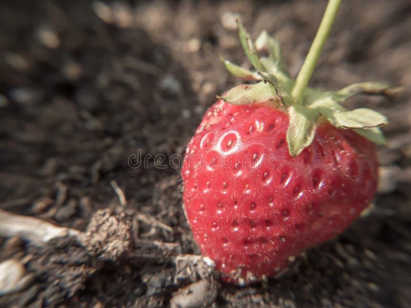 Foyer de fraise avec le fond au sol photos stock