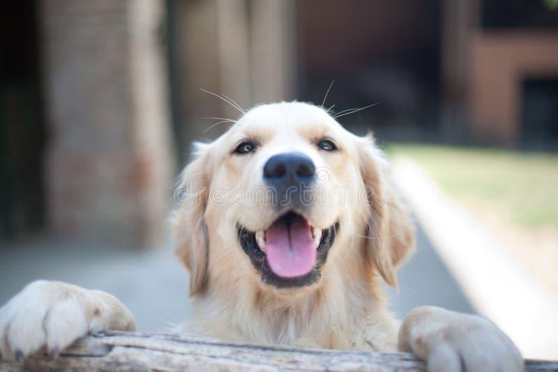 Foyer haut étroit de sourire de yeux de chien de golden retriever sur un marais en bois photographie stock libre de droits