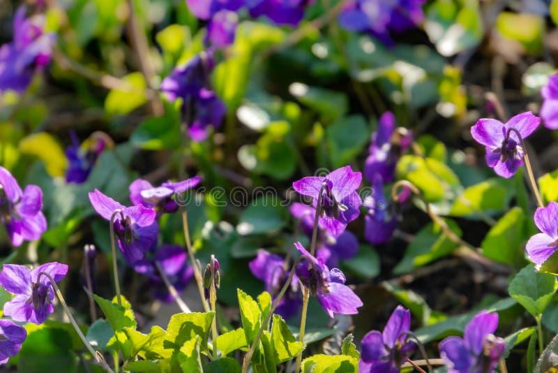 Foyer mou contre des violettes de for?t de ressort du soleil sur le fond du vert naturel brouill? T?tes des violettes tourn?es ve photo libre de droits