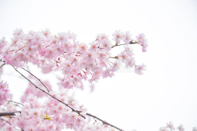 Foyer mou de fleurs de cerisier de ressort photos libres de droits