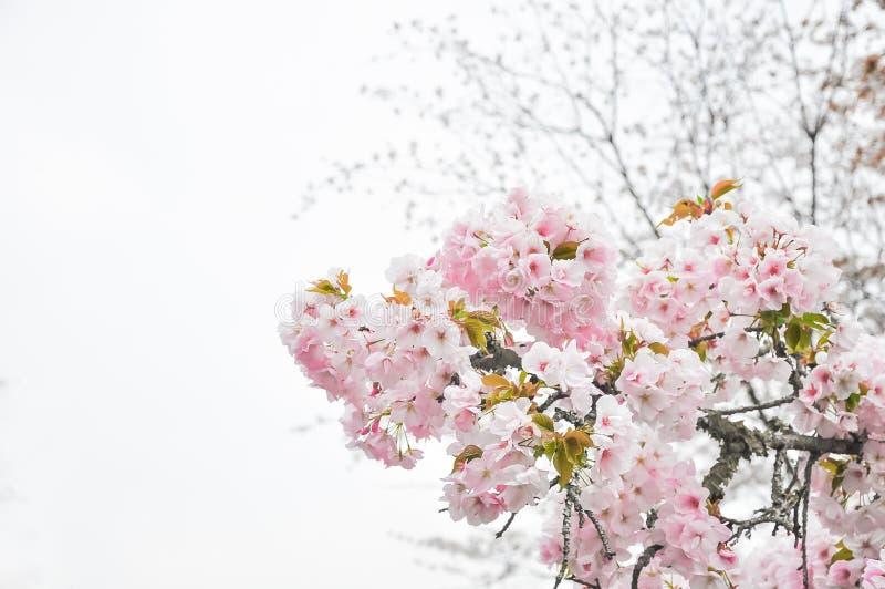 Foyer mou de fond de tache floue de fleurs de cerisier de ressort photo libre de droits