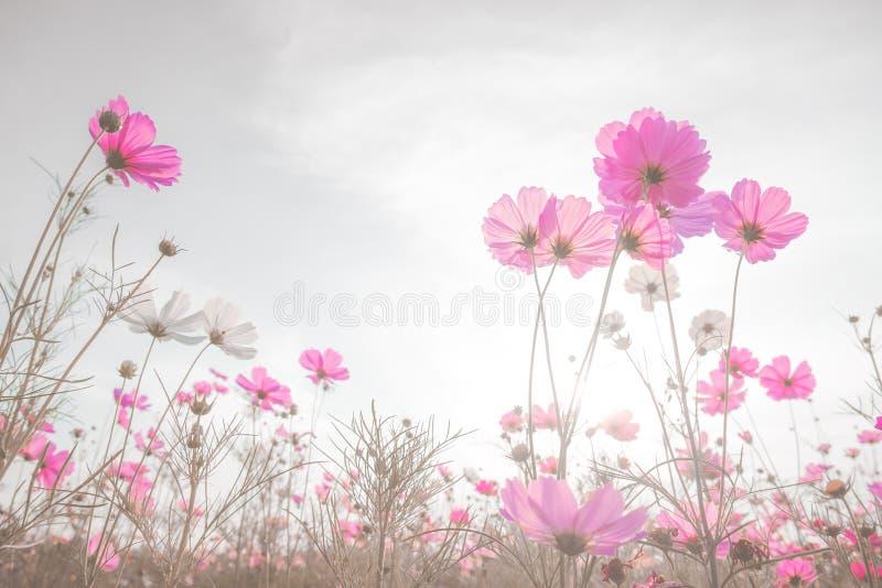 Foyer mou et fleurs brouillées de cosmos sur le style de couleur en pastel pour photo libre de droits