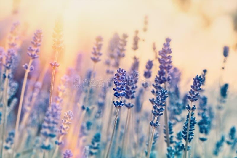 Foyer mou sur des fleurs de lavande photo libre de droits