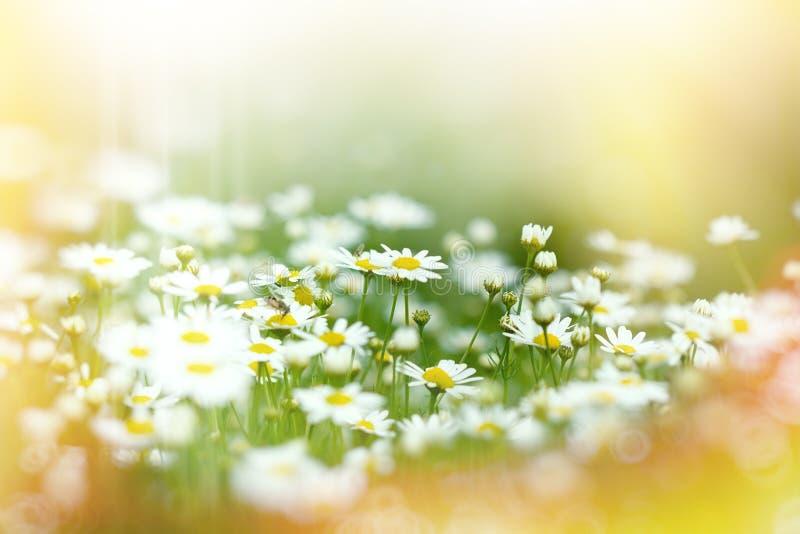 Foyer mou sur des fleurs de marguerite photo libre de droits