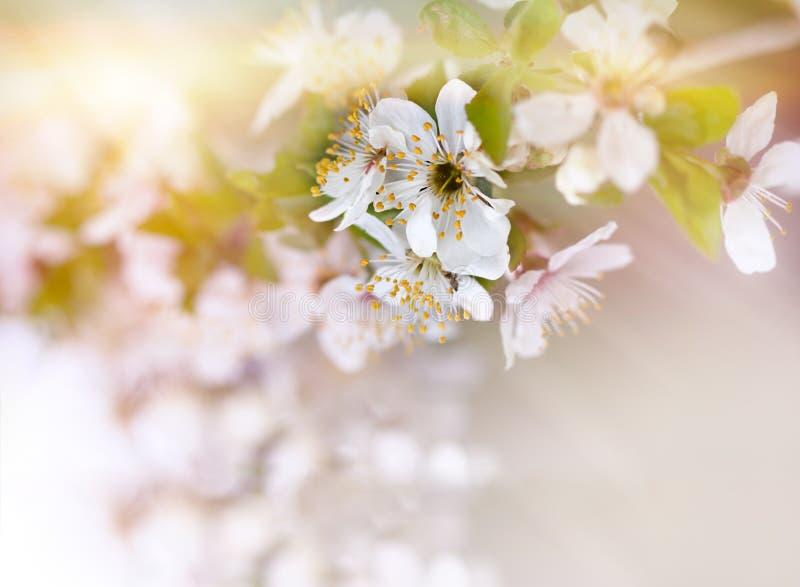 Foyer mou sur la branche de la floraison de cerise photographie stock