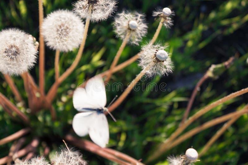Foyer mou sur le papillon et le pissenlit, papillon et pissenlit illuminés par lumière du soleil photographie stock libre de droits