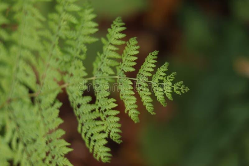 Foyer sélectif de végétation de feuille de fougère sur le premier plan photographie stock