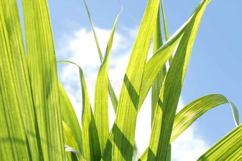 Foyer sélectif de vert de feuille de canne à sucre, feuille de canne à sucre dans la plantation, feuilles de canne à sucre pour l photo stock