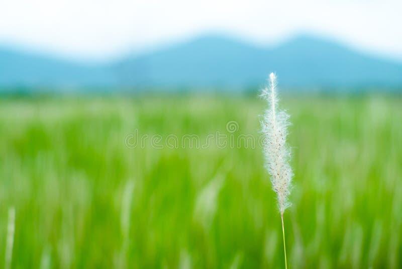 Foyer sélectif sur l'herbe de fleur de plan rapproché avec la ferme brouillée de riz et la montagne à l'arrière-plan image stock