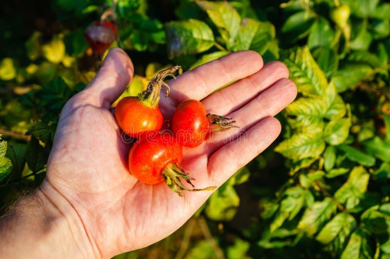 Foyer sélectif sur la branche mûre de tomate-cerise dans la main d'homme, à images stock