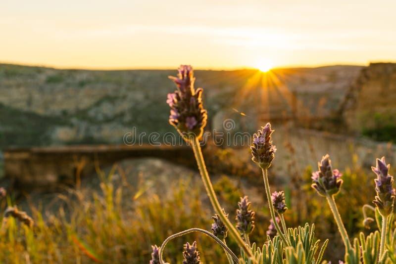 Foyer sélectif sur les fleurs pourpres dans le paysage de lever de soleil avec photo libre de droits