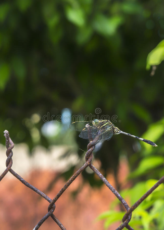 Foyer sur la libellule multicolore avec la barrière rouillée. image stock