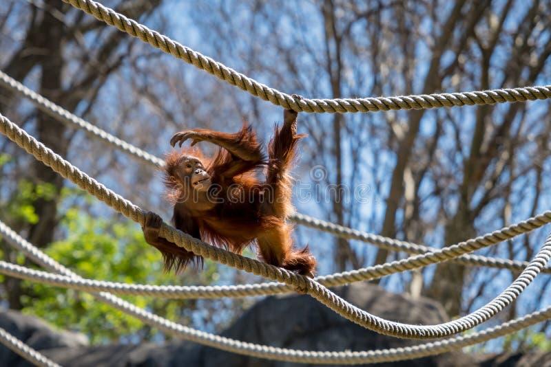 Foyers d'orang-outan sur la corde images stock