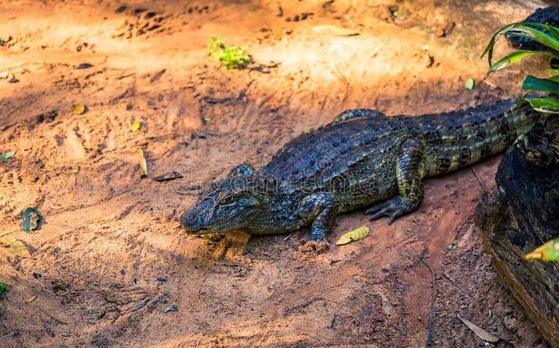 Foz Do Iguazu - 23 czerwca 2017: krokodyl kajmański w parku ptaków w Foz Do Iguazu w Brazylii fotografia stock