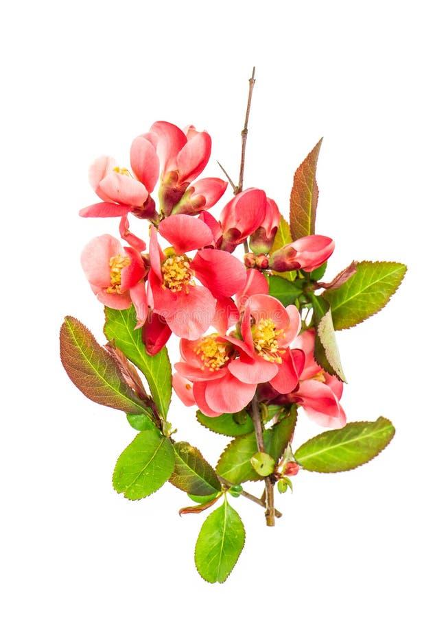 Frühlingsblume Hintergrund der wilden Kirschbaumblüte weiße lizenzfreie stockfotografie