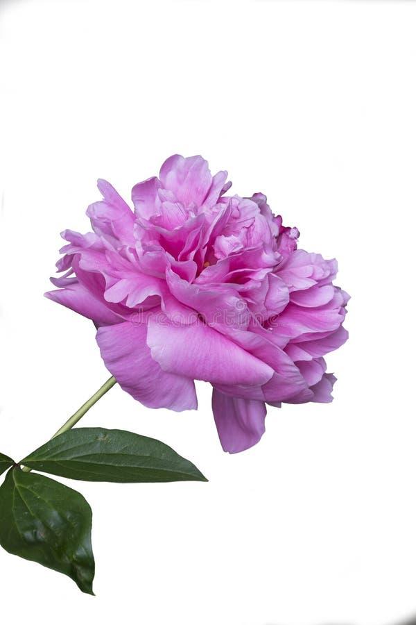 Frühlingsblumen-Reihe, schöne rosa Pfingstrosenblumen im Garten Große Pfingstrosenknospe lokalisierte Pfingstrosen Makro Die Sorg stockfotos