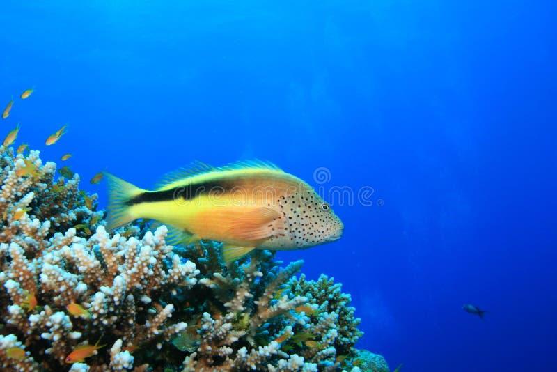 fräknig hawkfish royaltyfria bilder