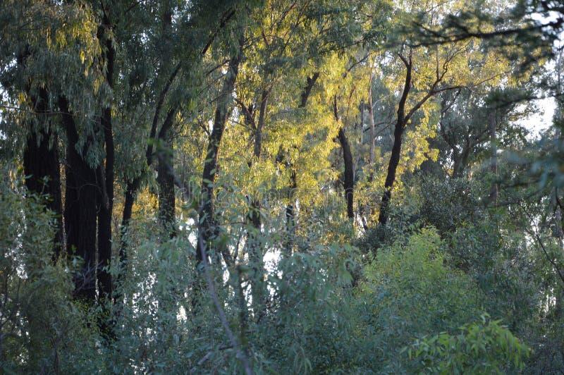 Främmande träd i Sydafrika royaltyfri bild