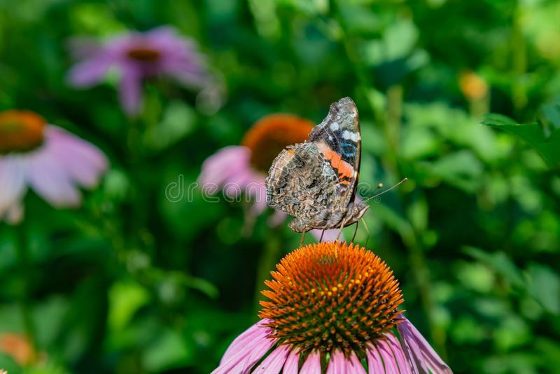 Främre fasadbeklädnad vikt vingsikt av den Vanessa Atalanta Red Admiral fjärilen i ett fält av echinaceaen Coneflowers royaltyfri bild