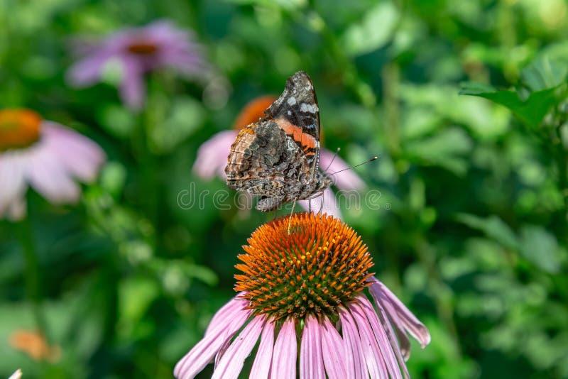 Främre fasadbeklädnad vikt vingsikt av den Vanessa Atalanta Red Admiral fjärilen i ett fält av echinaceaen Coneflowers fotografering för bildbyråer